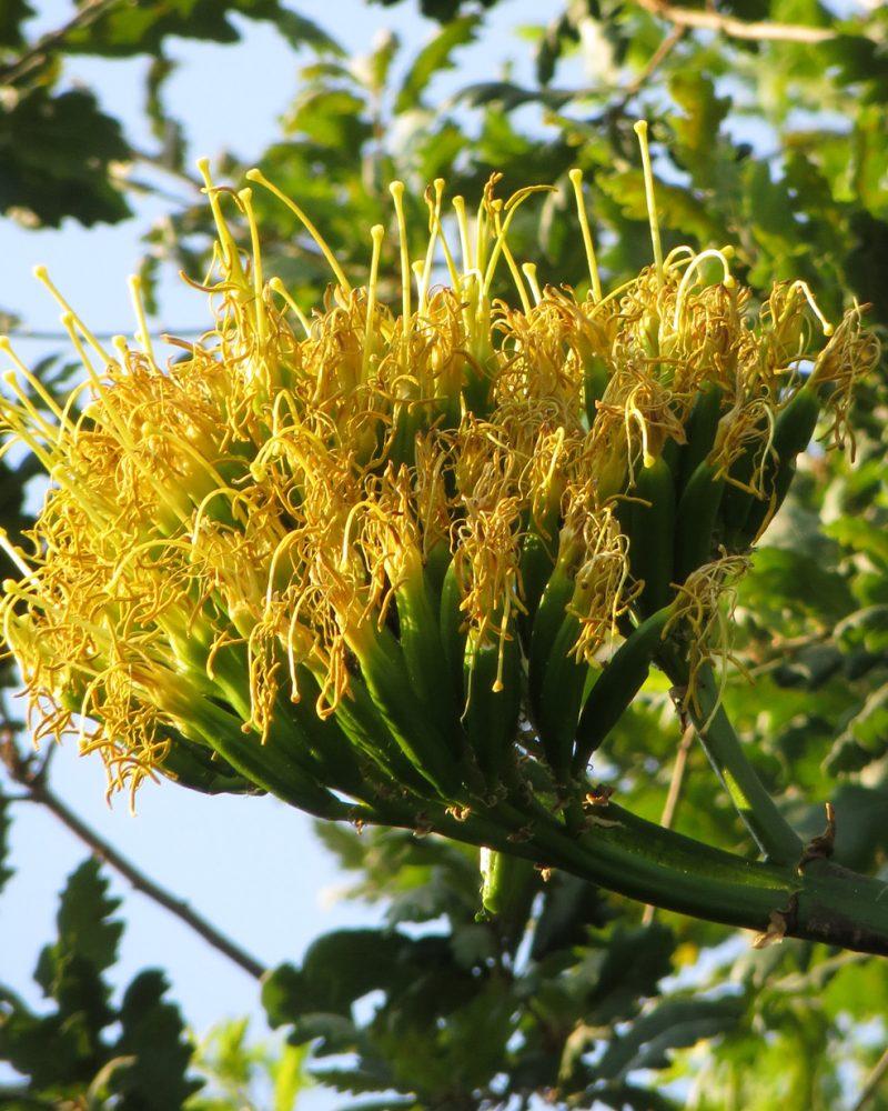 Fiore dell agave (93)