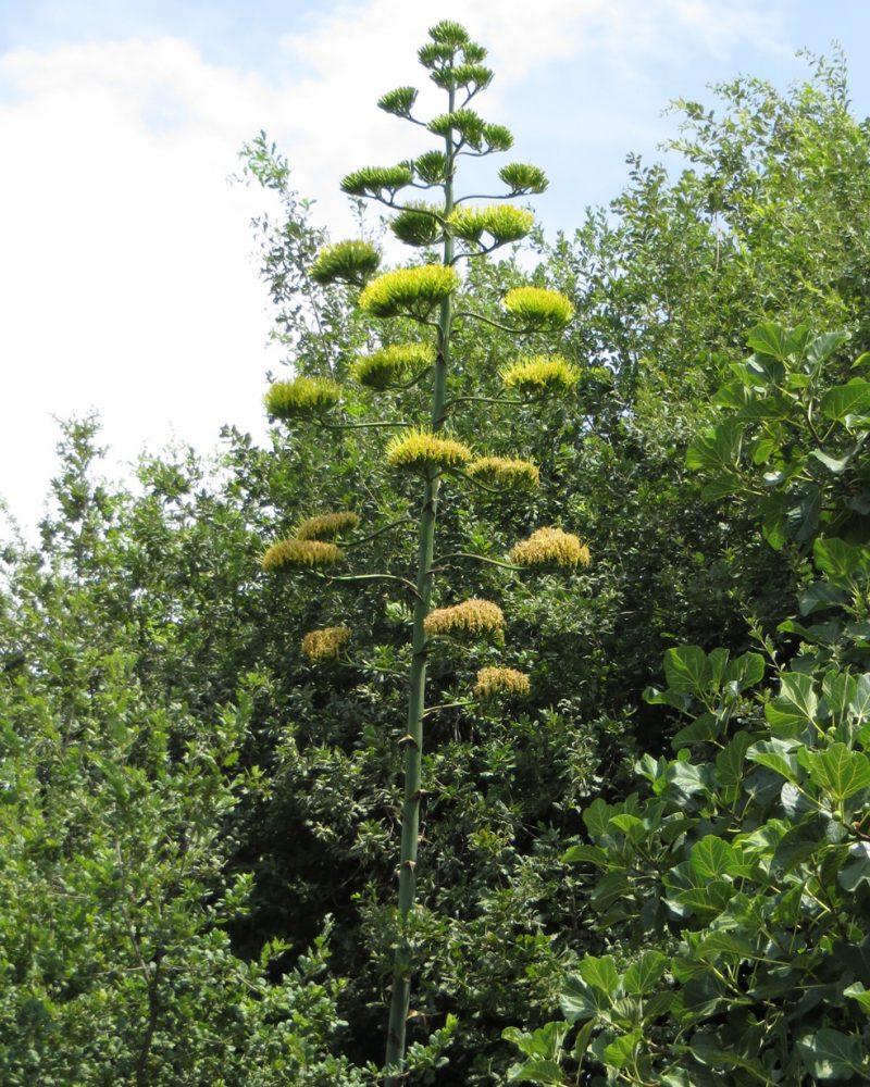 Fiore dell agave (98)