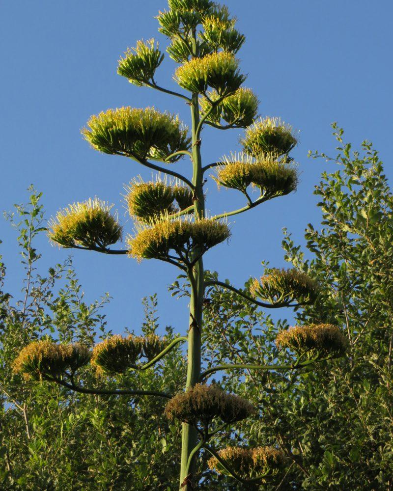 Fiore dell agave (99)