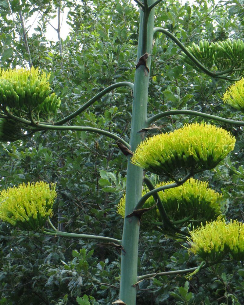 fiori d'agave schiusi